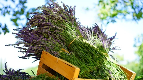Introductory Aromatherapy Course For Natural Living Free Course